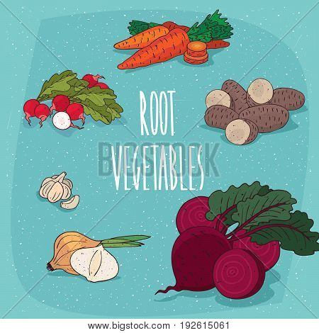 Set of isolated food products edible plant roots such as radish carrots potatoes beets onions garlic. Realistic hand draw style. Lettering Root vegetables