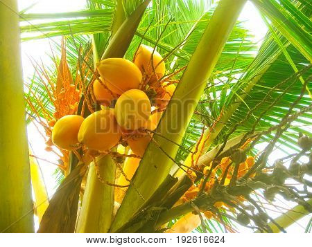 King coconut bunches growing on the palm. King coconut Cocos nucifera is a variety of coconut, native to Sri Lanka where it is known as Thembili