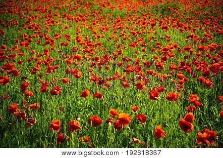 Flower Field Of Red Poppy Seed Background
