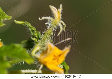 A baby cucumber with its bloom still attached and a fuzzy surface.