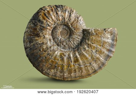 Ammonite - fossil mollusk. Ammonites lived in the ancient ocean 160 million years ago.