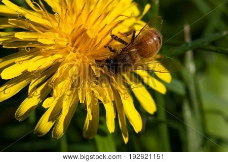 A honey bee is collecting pollen on a dandelion bloom in the sunshine.