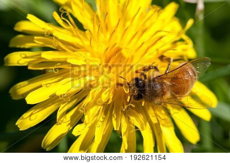 A worker honey bee is collecting pollen on a dandelion bloom in the sunshine.
