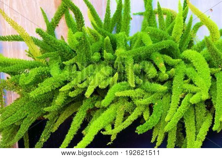 Foxtail Fern Asparagus Plants taken in a large pot taken at a courtyard in a garden