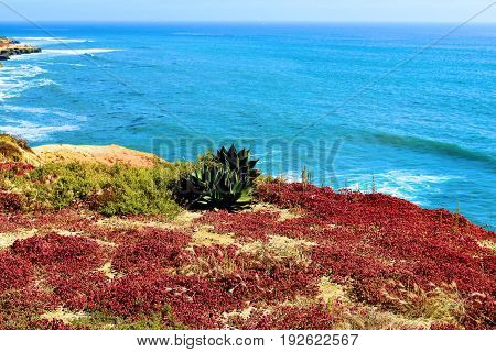 Cactus and wildflowers on a bluff overlooking the Pacific Ocean taken in Point Loma, CA