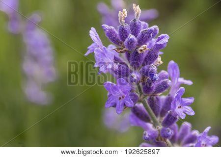 A single lavendar sprig on a warm summers day.