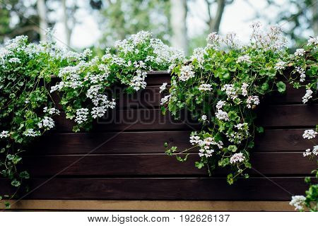 White flowers hanging from a wooden brown flowerbed in the garden