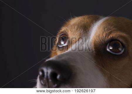 Close up shot of young beagle face.