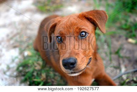 Thai Young Happy Dog