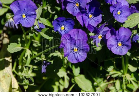 many beutiful flower from the family viola purple and blue