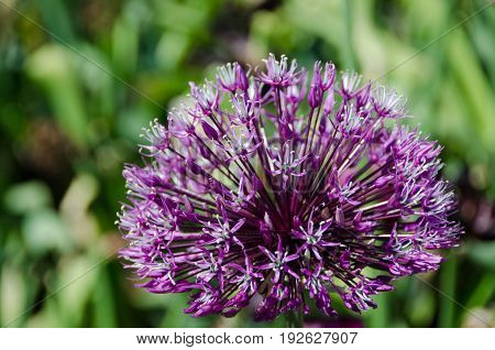 one big flower from the family alliums purple and beutiful