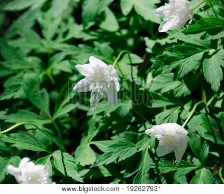 one planting with many lovely white anemones in the garden