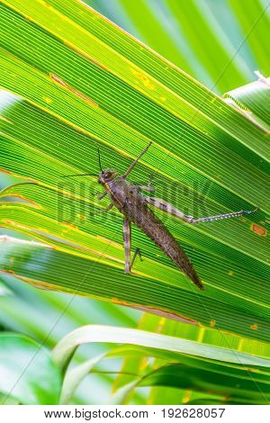 A large brown locust rests on the leaves of the palm.