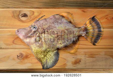 Fresh Monacanthidae Fish