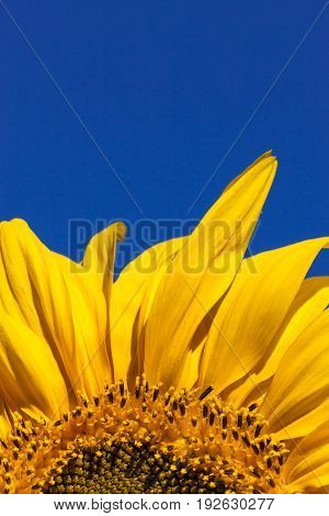 The top petals of a vibrant yellow sunflower bloom against a clear blue sky background.