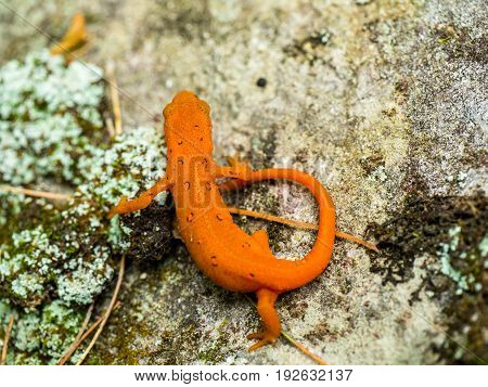 eastern red spotted newt walking along a rock - salamander