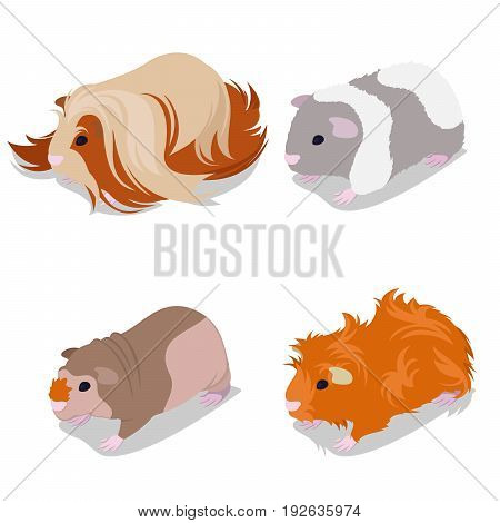 Guinea Pig Breeds Set with Peruvian, American Teddy, Skinny and Abyssinian. Pet Rodents. Vector illustration