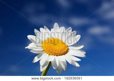 Chamomile against the sky. Summer daisy. A beautiful scene of nature with blooming medical chamois. Alternative medicine. Camomile Spring floral sky landscape