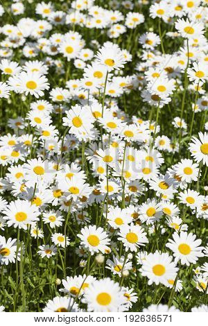 Leucanthemum vulgare flowers blooming in a meadow close up. It is one of a number of family Asteraceae plants to be called a