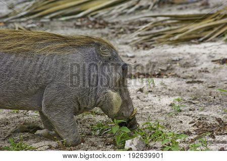 Warthog feeding in Okawango delta in Botswana