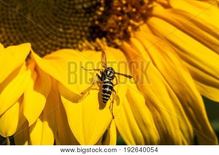 A yellow and black bee know as a yellow-jacket rests on a bright yellow petal of a sunflower bloom.