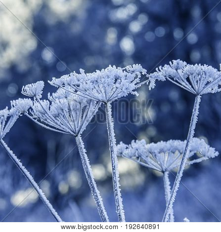 frozen plants - a beautiful winter picture
