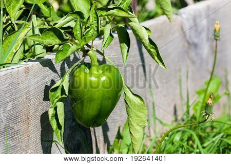 A hanging sweet green bell pepper in a raised garden bed.