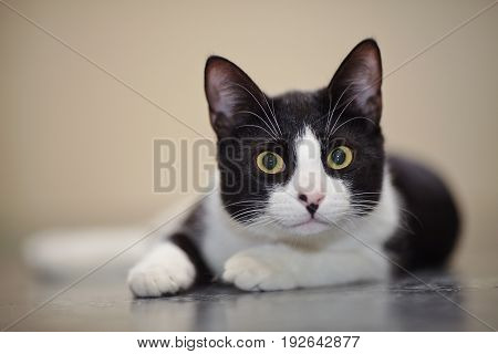 Portrait of the black-and-white cat lying on a floor.