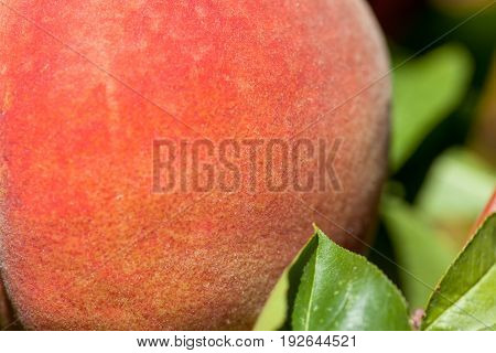 A close up of a ripe peach still on the tree among green leaves in the sunshine.
