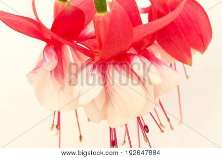 Fuchsia Flower In Red And White