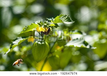 A honey bee hangs upside down while collecting pollen from a tomatillo plant with another bee flying nearby.