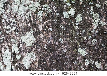 Old tree bark surface with green lichen and moss. Raw wood board surface. Rustic lumber close-up photo. Tree trunk peel with cracks and grit. Natural wooden bark structure. Mossy tree closeup photo