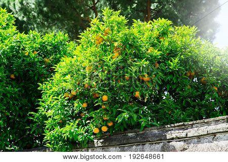 Orange Fruit On Tree In City Garden