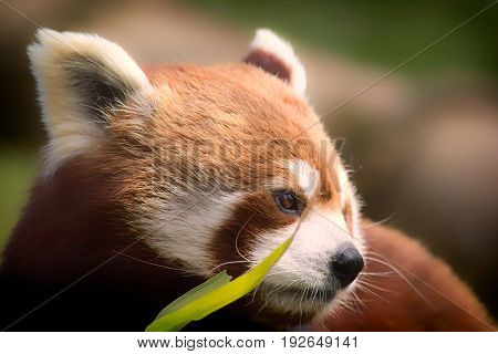 Red Panda. Soft feel nature image of gentle lovable animal with copy space. Red panda (Ailurus fulgens) face in close up behind bamboo shoots.