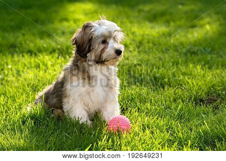 Cute little havanese puppy dog sitting in the grass with his pink ball