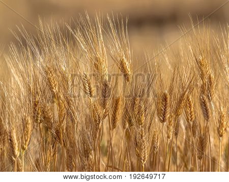 Field Of Barley On Sunny Day