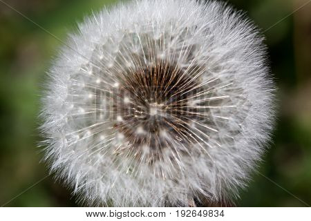 Small brown seeds attached to the inside of a dandelion stem with the fuzzy puffs surrounding them.
