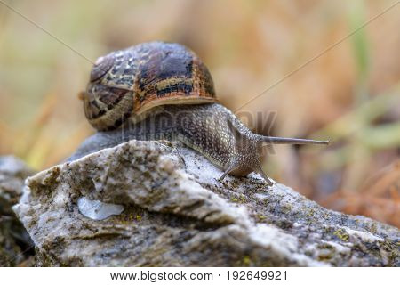 Garden Snail On A Stone