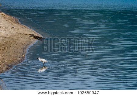 Snowy Egret Standing In Water