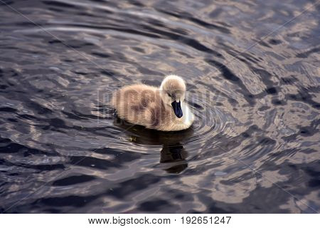 Baby swan swimming in a lake for the first time