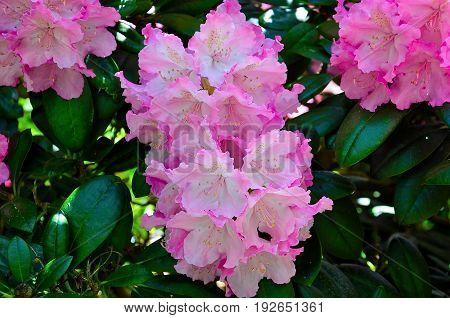 Pink Flower Head of a Rhododendorn in a English Garden