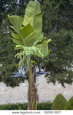 Wild Banana With Distinctive Black Flowers