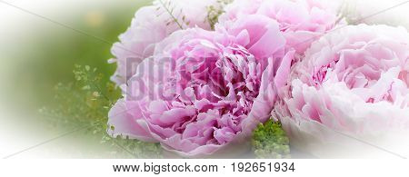 Flowers background. Beautiful bouquet of pink peonies
