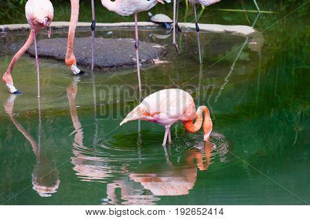 American flamingo ( Phoenicopterus ruber ) in captivity