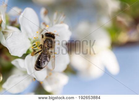 bee on a white flower on a tree. close
