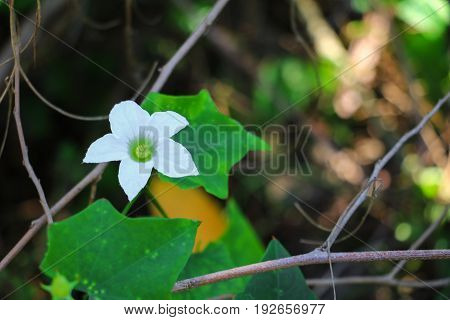 flower ivy gourd white and leaf green ( coccinia grandis )