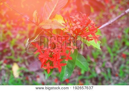 blur Ixora spike flower red with in nature with light sunset ( Common Name Ixora coccinea Rubiaceae)