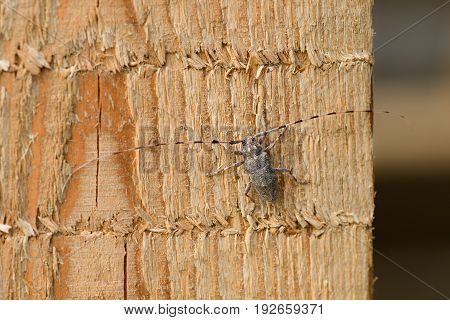 Female Of A Great Capricorn Beetle Sitting On The Oak Bark. An Endangered European Species On A Hori