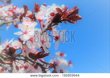 spring time tree blossom on a clear blue sky day