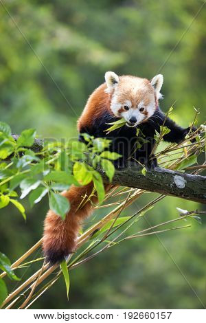 Red panda eating bamboo shoots. The red panda, or bear-cat, is an endangered species indigenous to China & Nepal.